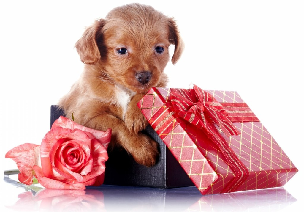 Puppy-in-a-gift-box-with-a-bow-and-a-rose